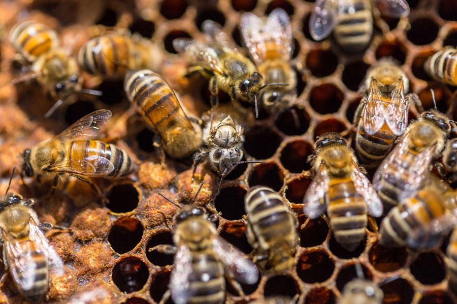 api per difendere l'olio